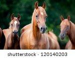 Stock photo herd of arabian horses 120140203
