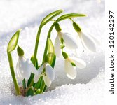 spring snowdrop flowers with... | Shutterstock . vector #120142297