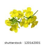 Rapeseed blossoms , Brassica napus flower isolated on white background - stock photo
