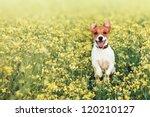 Stock photo jack russel on flower meadow 120210127