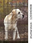 Yellow Labrador Retriever behind a fence - stock photo