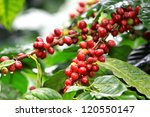 Coffee Beans Ripening On Tree...