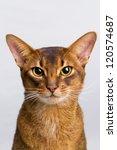 abyssinian cat portrait. | Shutterstock . vector #120574687
