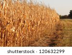 Rural landscape: Field of corn ready for harvest - stock photo