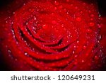 one beautiful rose, close-up, background - stock photo