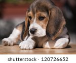 Cute beagle puppy relaxing - stock photo