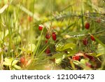 wild strawberry | Shutterstock . vector #121004473