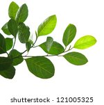 green leaves and tree branch isolated on white background - stock photo