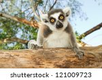 Ring Tailed Lemur Sitting On...