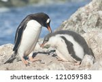 adult gentoo penguin ... | Shutterstock . vector #121059583
