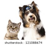 Cat and dog, British kitten and beaver yorkshire terrier - stock photo