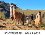 Alpacas at the Pasochoa volcano, Ecuador - stock photo