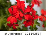 Red garden geranium flowers - stock photo