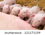 Newborn piglets suck the breasts of his mother. - stock photo