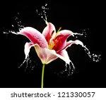Pink Flower With White Splashe...