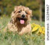 Norfolk Terrier In Autumn