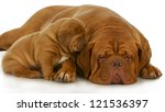 Stock photo mother and puppy dogue de bordeaux and four week old puppy isolated on white background 121536397