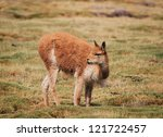 vicuna feedind   Shutterstock . vector #121722457