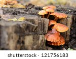 Honey Fungus On The Stump ...