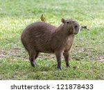 capybara with a bird on his...   Shutterstock . vector #121878433