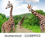 Giraffes In Kruger Park South...