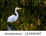 Great White Egret Wades In...
