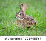 Stock photo cottontail bunny rabbit eating grass in the garden 121948567