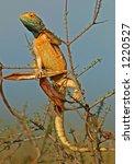 Small photo of Male ground agama (Agama aculeata) in bright breeding colors, Kalahari, South Africa