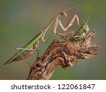A Praying Mantis Is Touching A...