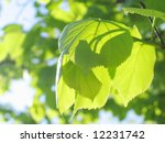 green leaves and branch | Shutterstock . vector #12231742