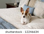 Adorable Terrier Laying On A...