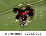beetle disguised as a drop of...   Shutterstock . vector #122827123