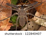 Small photo of Amblypygi is real monster of the jungle. Fauna of Rain forest of Ecuador.