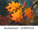 Orange oak autumn leaves closeup - stock photo