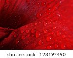 red flower with drops - macro - stock photo