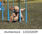 Poodle running in the agility slalom - stock photo