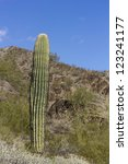 Saguaro cactus in Northern Mountain Park, Phoenix, AZ - stock photo