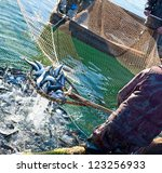 A Fisherman Scoops Up Fish Fro...