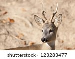 Roe Deer Male Portrait - stock photo