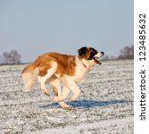 Saint bernard running - stock photo