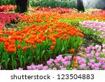 Tulips Garden In Thailand