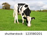 Holstein Calf Grazing in a Green Field - stock photo