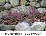 Purple Heather On The Rockery