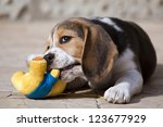 Cute beagle puppy playing with his toy - stock photo