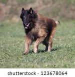 A purebred Belgian Shepherd tervueren running in the field - stock photo