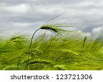 Barley field in a cloudy day. - stock photo