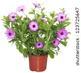 Pot With Violet African Daisy ...