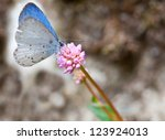 Spring Azure Butterfly ...