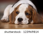 Cute beagle puppy lying on the wood - stock photo