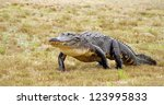 American Alligator Walks Acros...